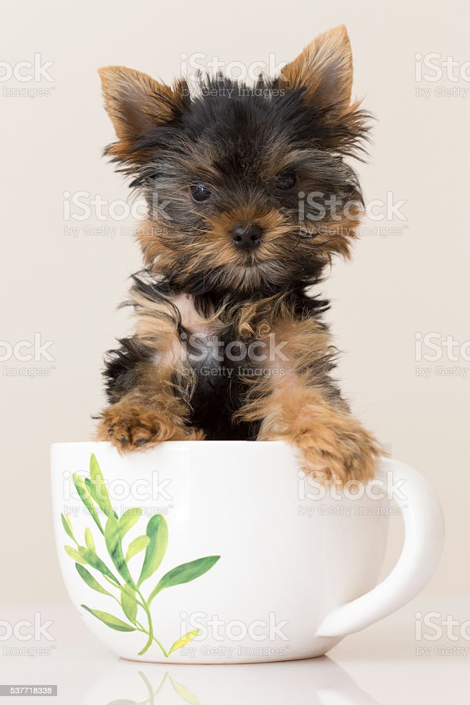 Yorkshire Terrier in a Tea Cup stock photo
