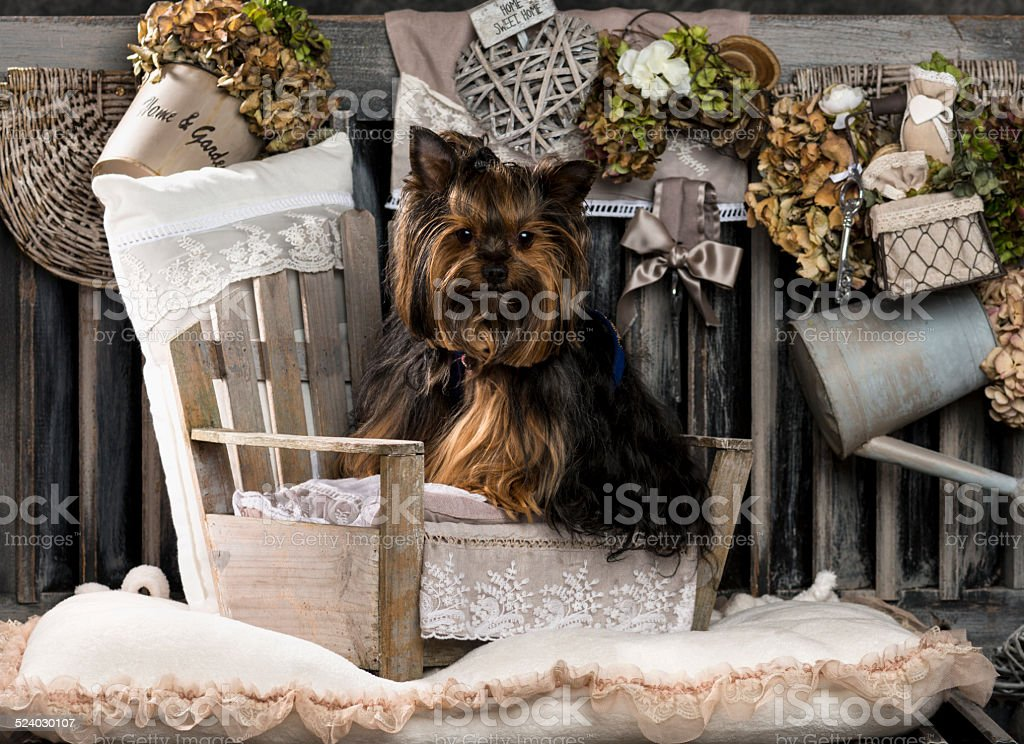 Yorkshire terrier in front of a rustic background stock photo