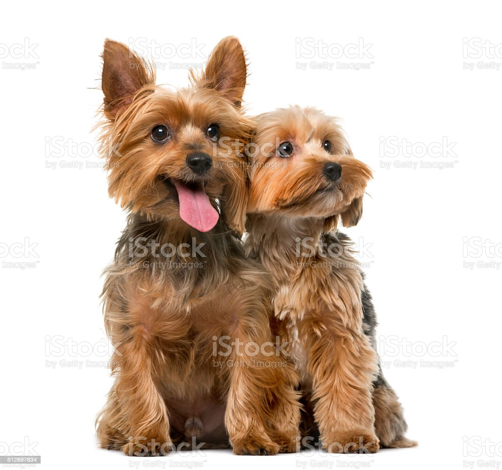 Yorkshire terrier in front of a white background stock photo