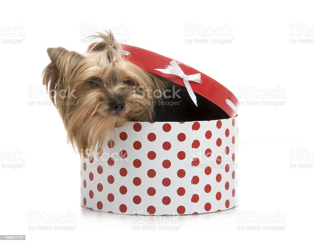 Yorkshire Terrier in gift-box, studio shot on white background royalty-free stock photo