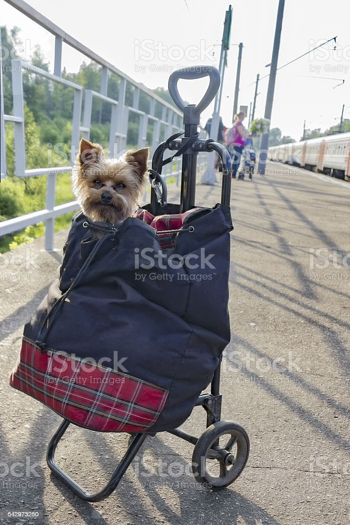 Yorkshire terrier in luggage at train station. stock photo