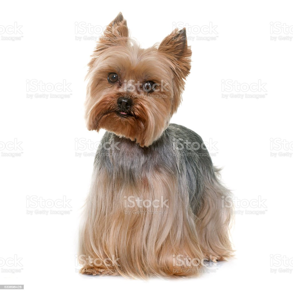 yorkshire terrier in studio stock photo