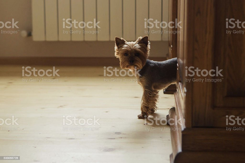Yorkshire terrier in the office stock photo