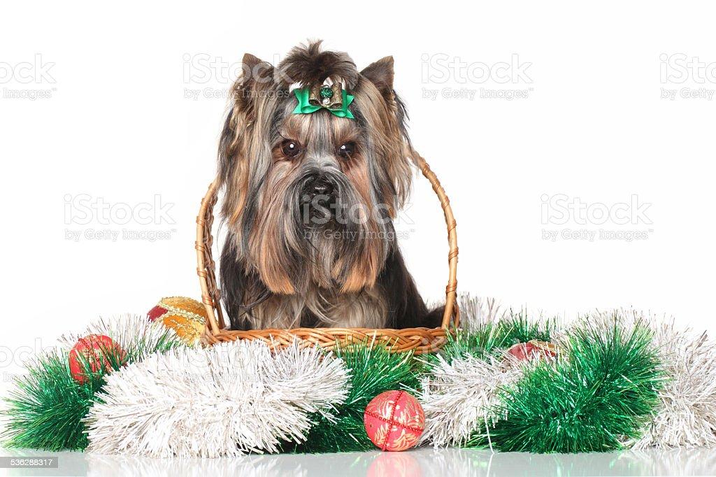 Yorkshire terrier in wicker basket stock photo