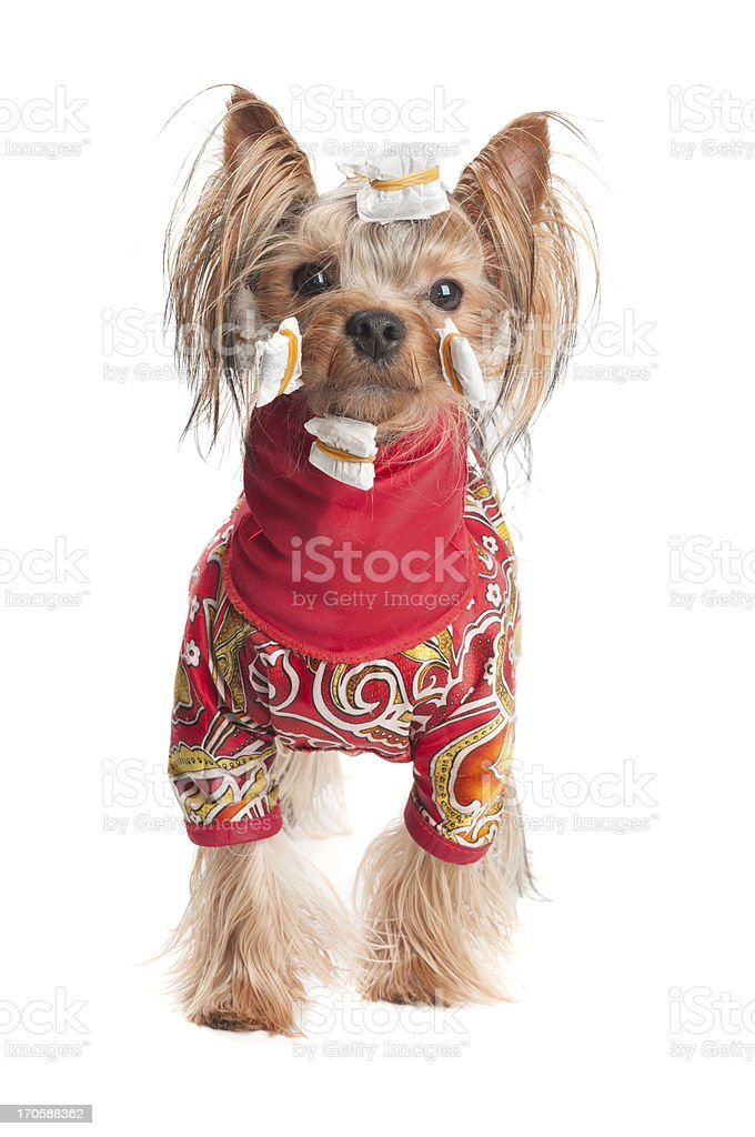 Yorkshire terrier in wrapping paper and jacket royalty-free stock photo