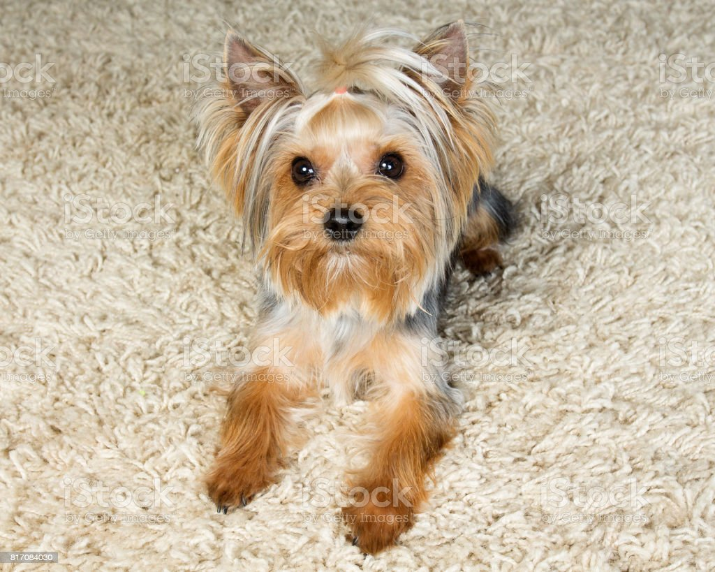 Yorkshire terrier is laying  on the carpet stock photo