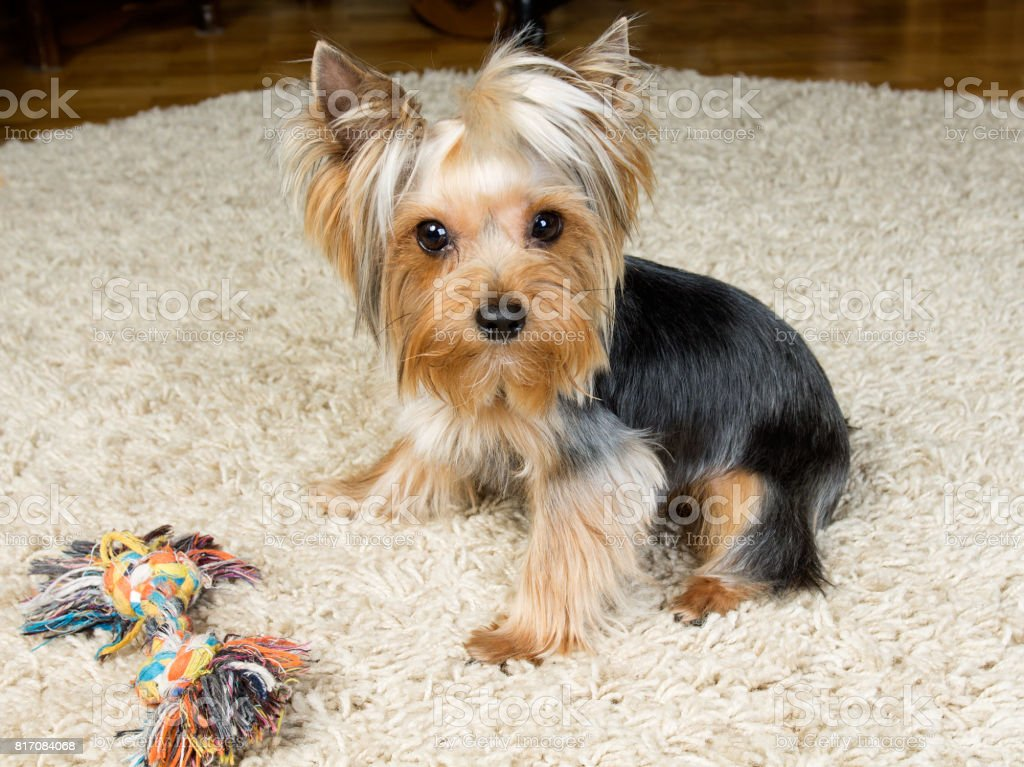 Yorkshire terrier is playing with a toy on the carpet stock photo
