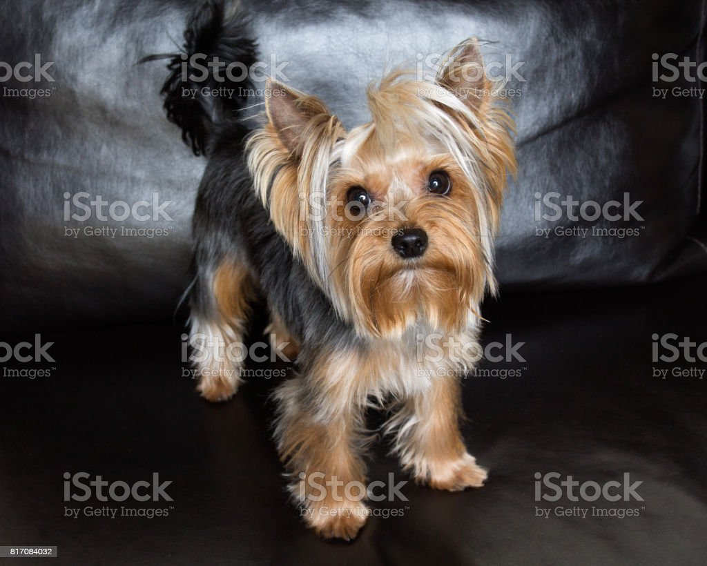 Yorkshire terrier is sitting on the black sofa stock photo