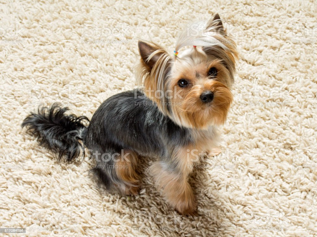 Yorkshire terrier is sitting  on the carpet stock photo