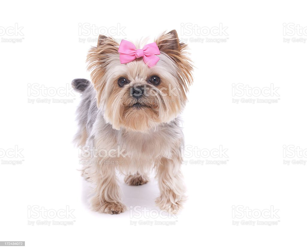 Yorkshire Terrier isolated on white royalty-free stock photo