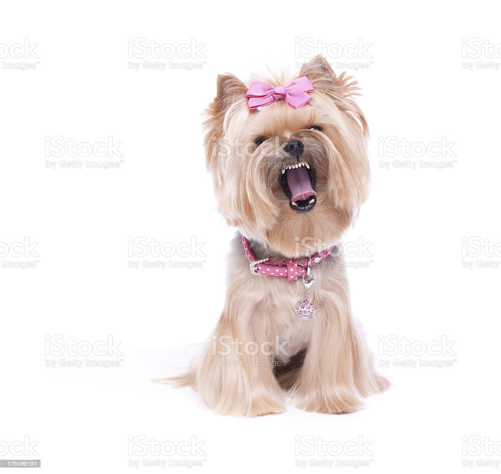 Yorkshire Terrier Laughing stock photo