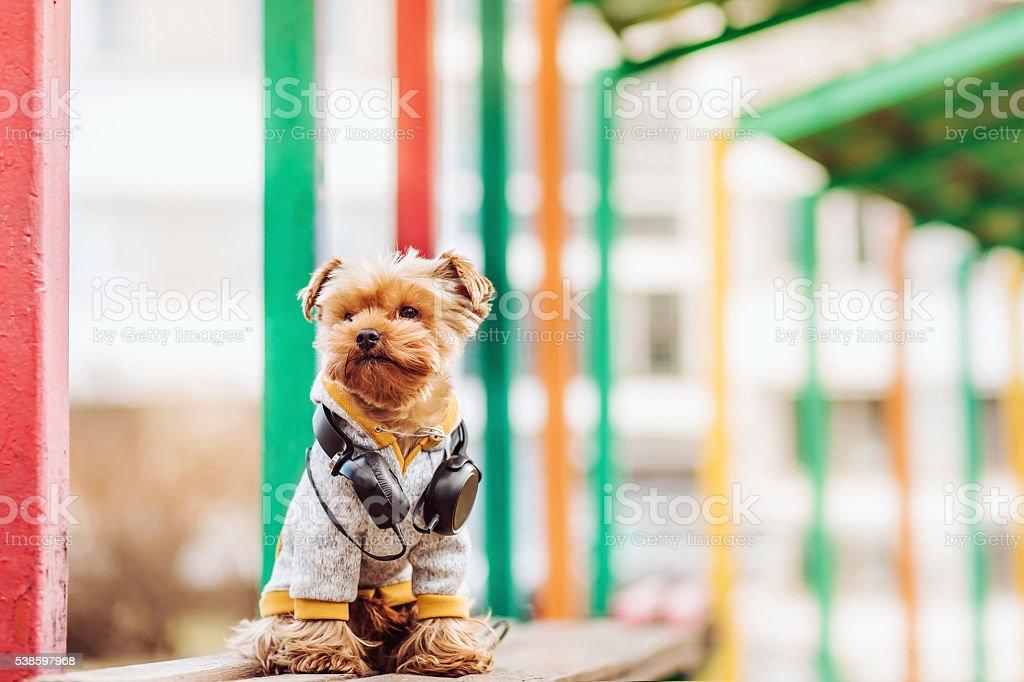 Yorkshire terrier  listening music on the street stock photo