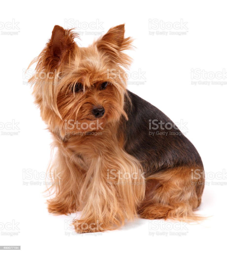 Yorkshire Terrier looking down stock photo