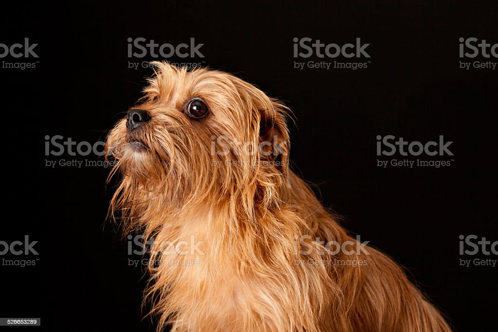 Yorkshire Terrier Looking Up stock photo