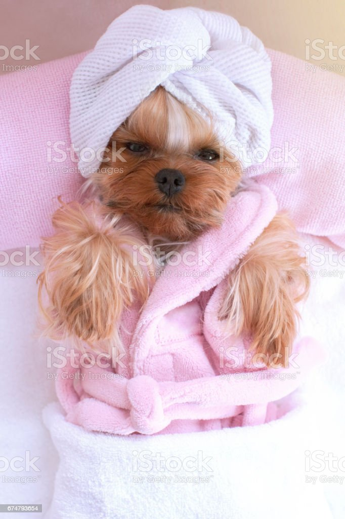 Yorkshire terrier lying down relaxing at the pet grooming salon spa...