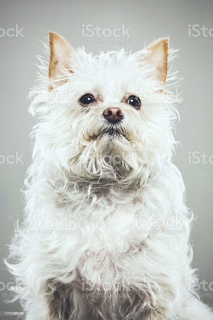 Yorkshire Terrier Mix Portrait royalty-free stock photo