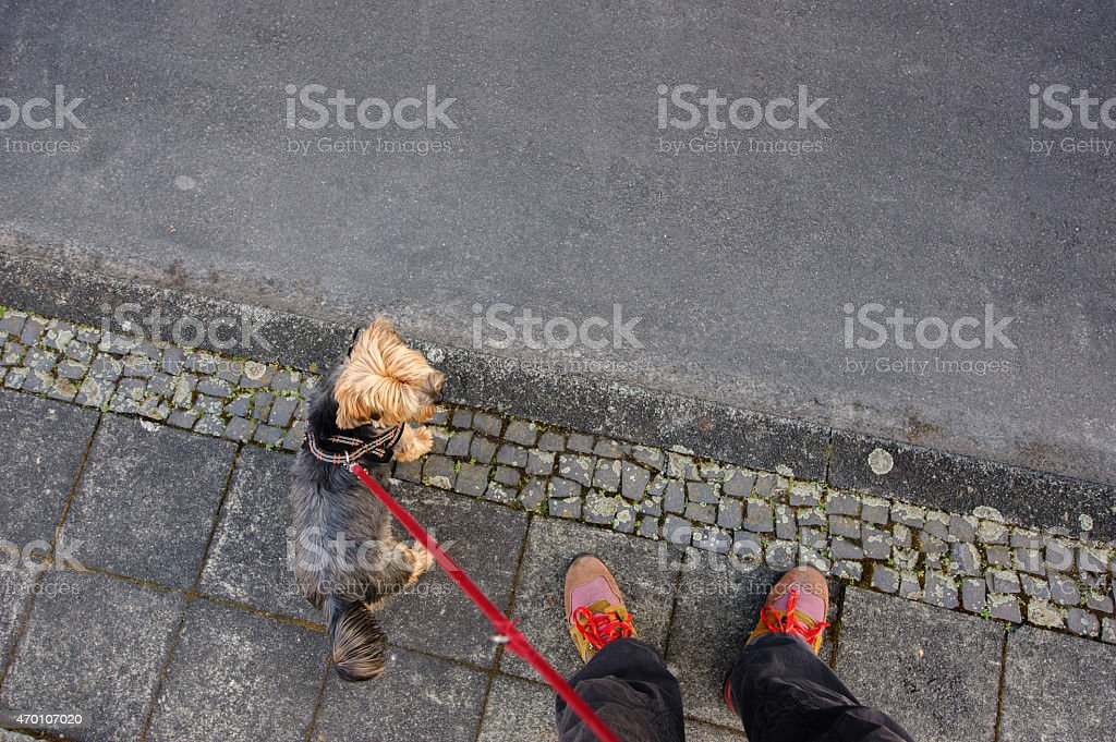 Yorkshire Terrier on a leash at the roadside stock photo