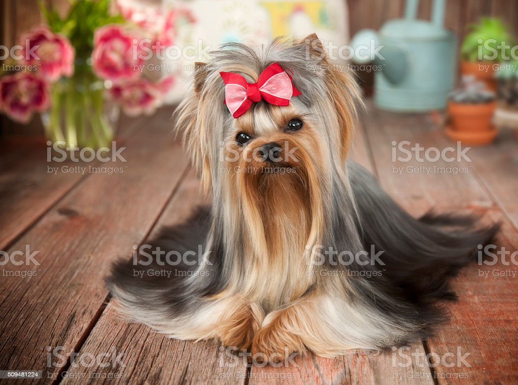 Yorkshire Terrier on Old Wood, Flowers, Watering Can Spring Elements stock photo