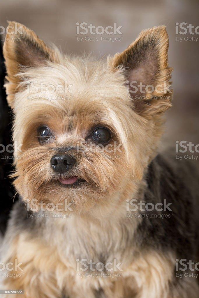 Yorkshire Terrier stock photo