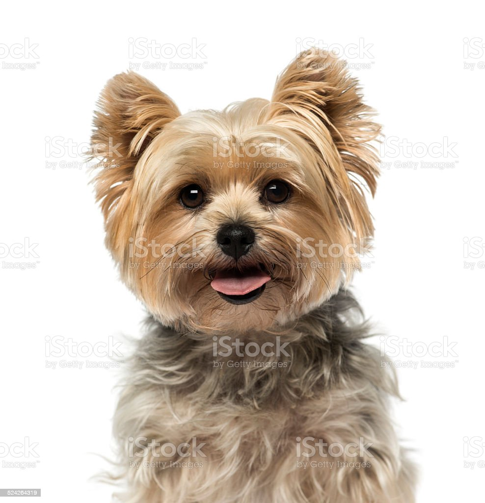 Yorkshire Terrier (4 years old) stock photo