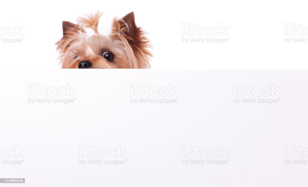 Yorkshire Terrier Playing Peek A Boo stock photo