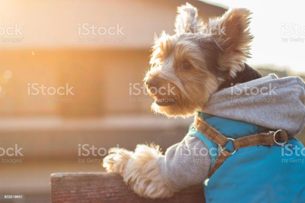 Yorkshire Terrier Portrait in Sunset stock photo