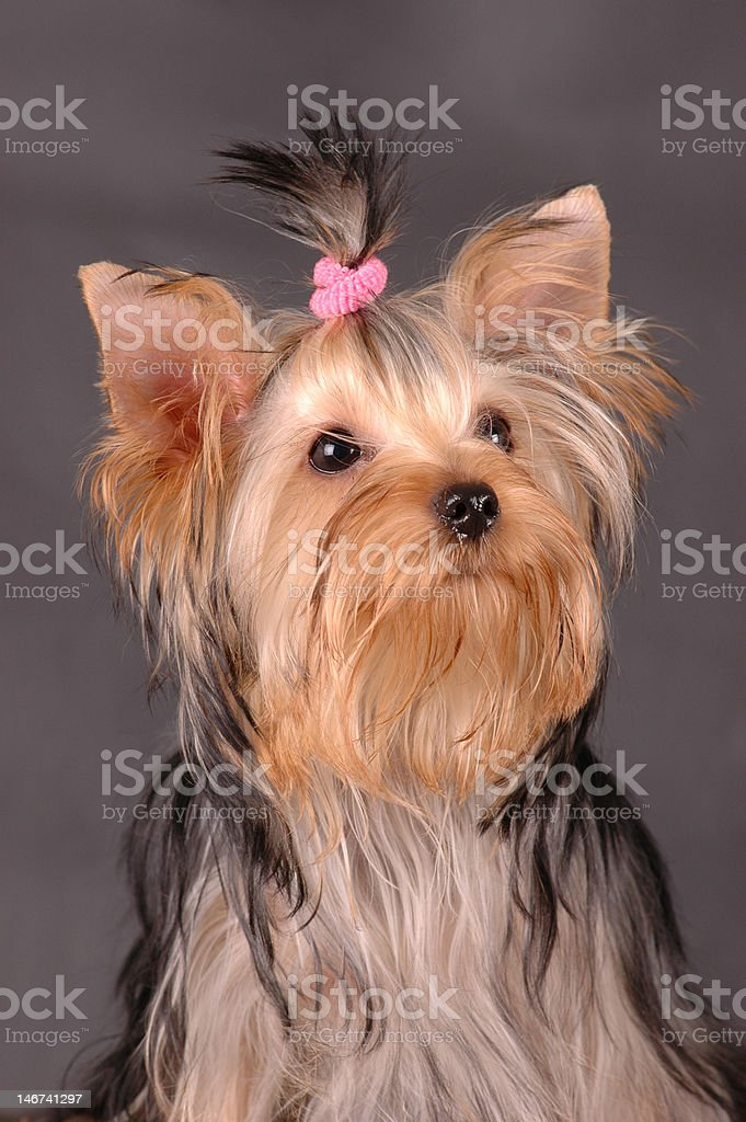 Yorkshire terrier portrait royalty-free stock photo