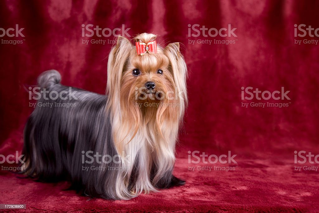 Yorkshire Terrier Portrait (XXL) royalty-free stock photo