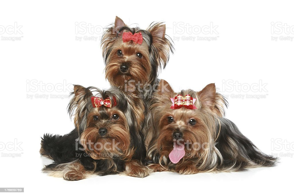 Yorkshire Terrier Puppies on a white background stock photo