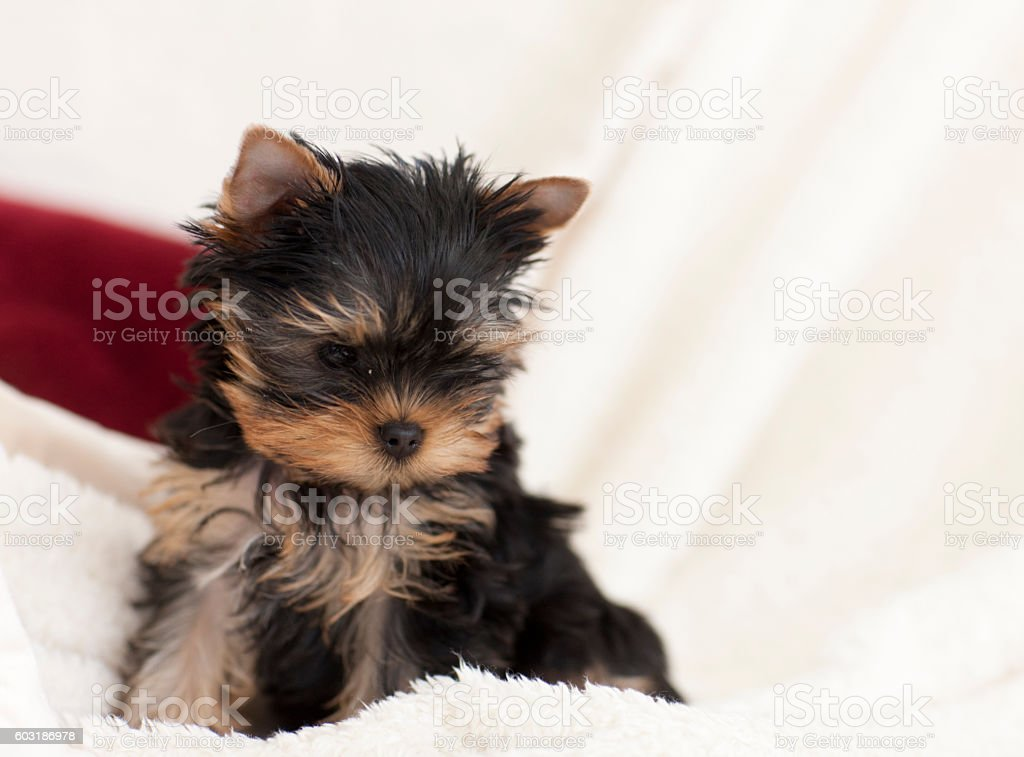 Yorkshire Terrier Puppy Dog Sitting on a White Blanket stock photo