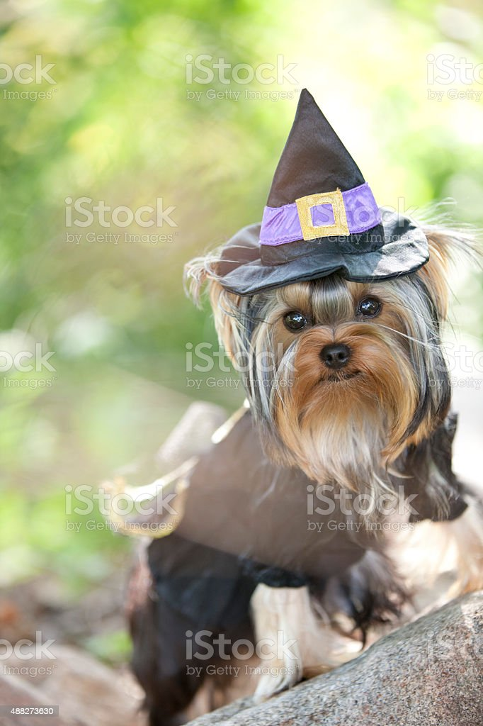 Yorkshire Terrier Puppy Dressed Up as a Witch for Halloween stock photo