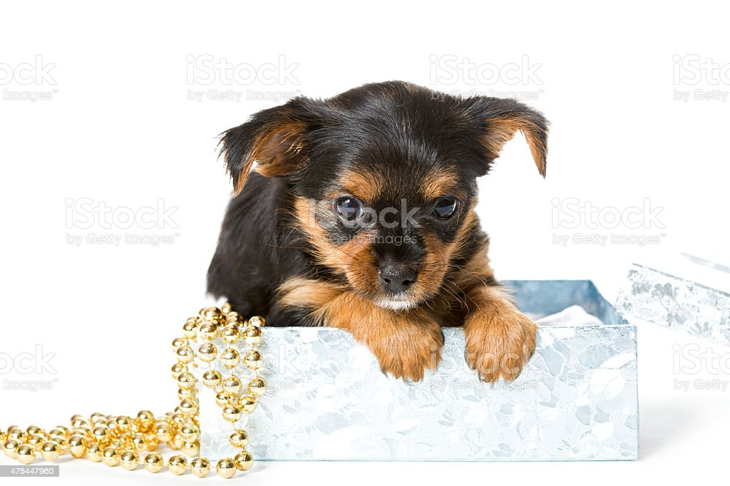 Yorkshire Terrier puppy in gift box stock photo