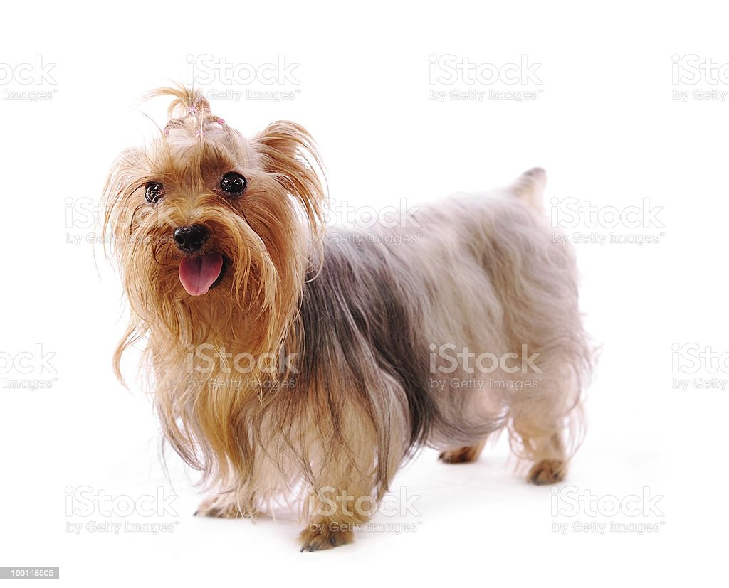 yorkshire terrier puppy isolated on white royalty-free stock photo