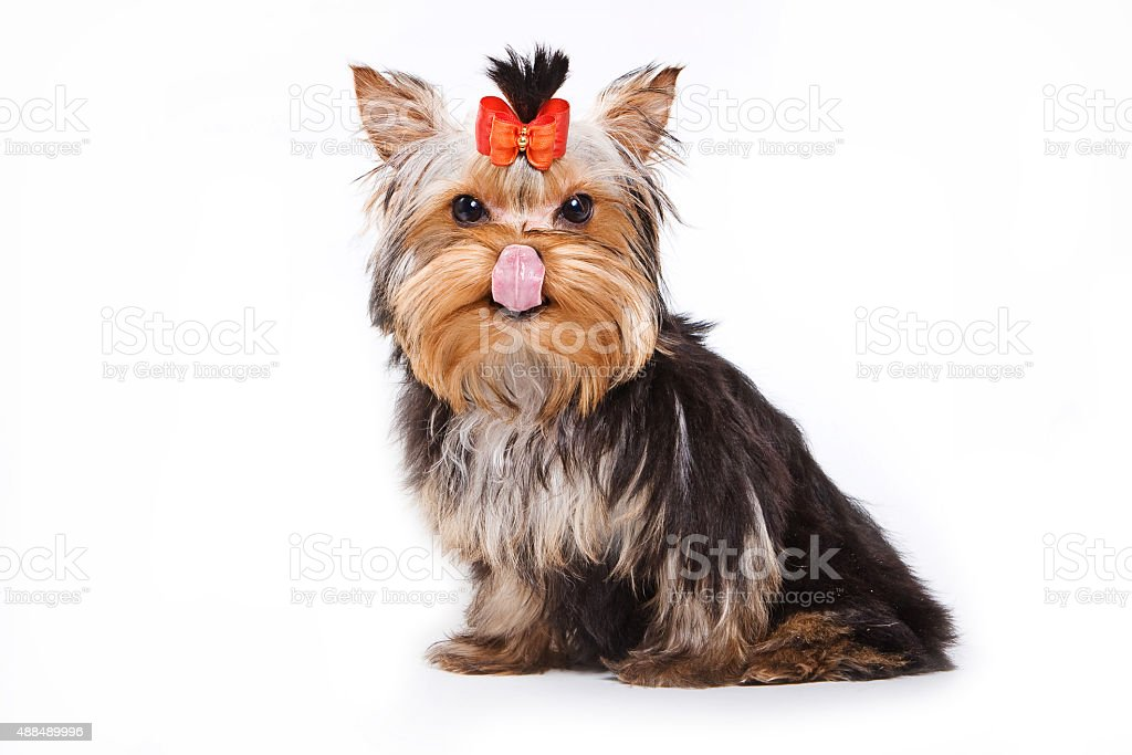 Yorkshire terrier puppy licking his chops stock photo