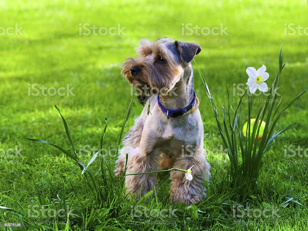 Yorkshire Terrier puppy on green grass royalty-free stock photo