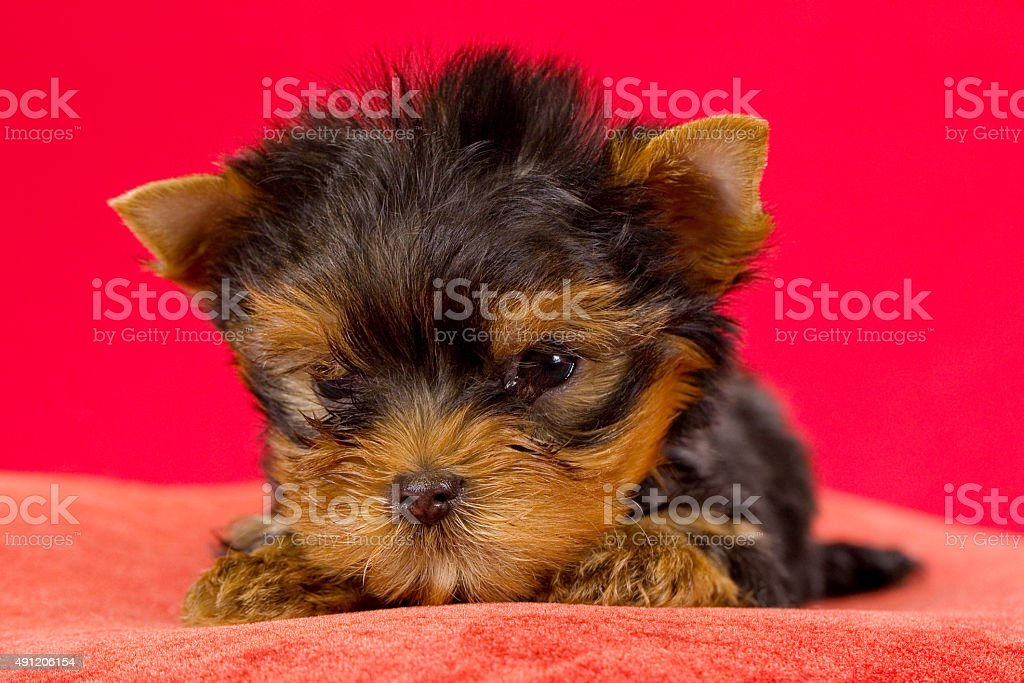 Yorkshire Terrier puppy on red background. With selective focus. stock photo