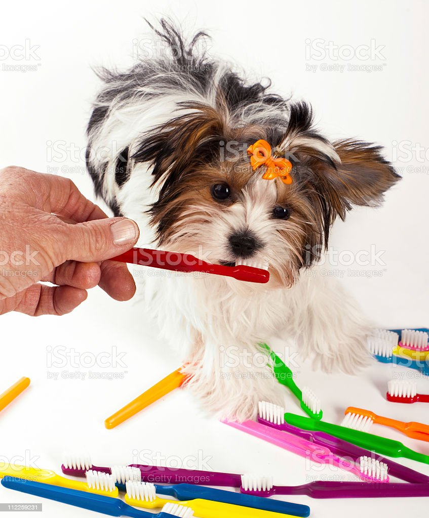 Yorkshire Terrier puppy toothbrushing stock photo