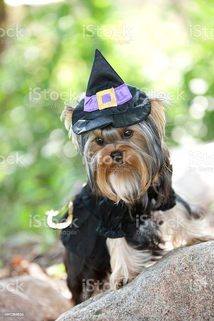 Yorkshire Terrier Puppy Witch stock photo