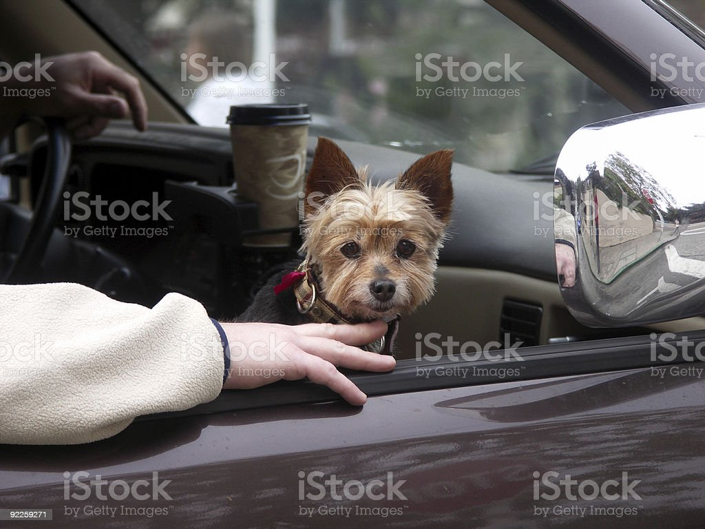 Yorkshire terrier riding in car stock photo
