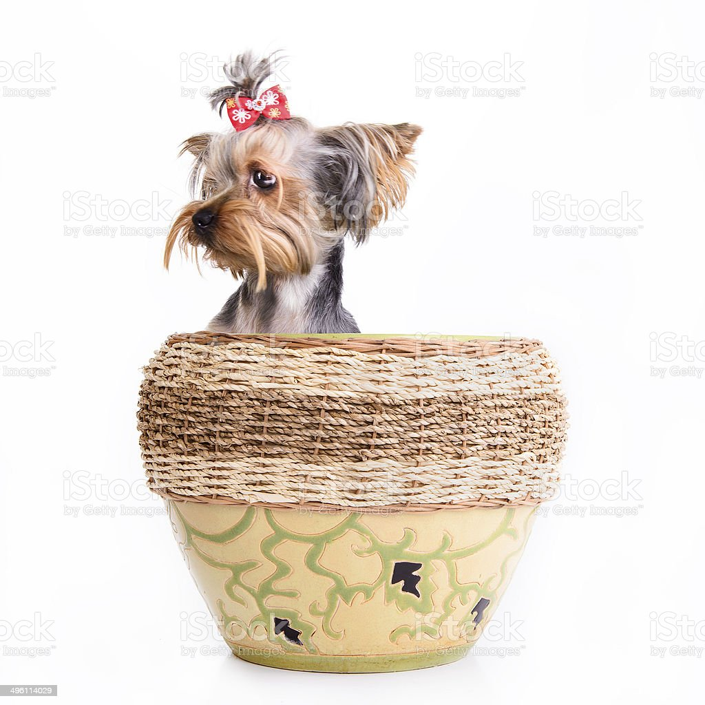 Yorkshire terrier sit stock photo