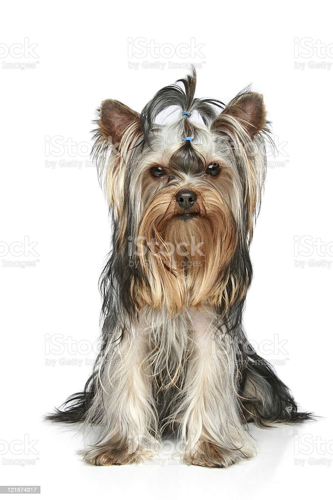 Yorkshire Terrier sitting on a white background stock photo
