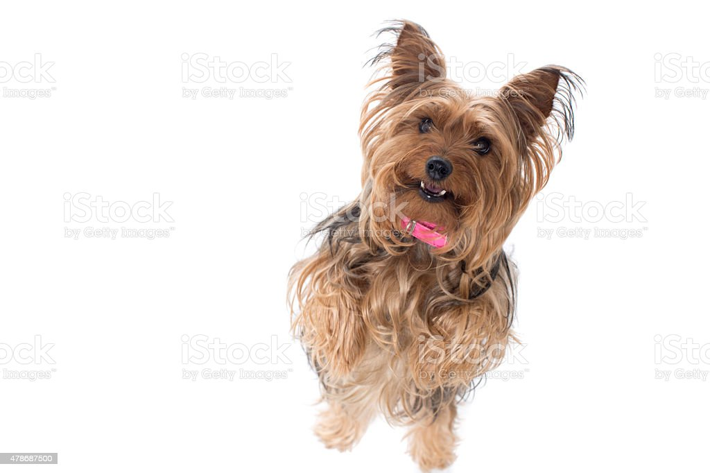 Yorkshire Terrier Standing on Hind Legs stock photo