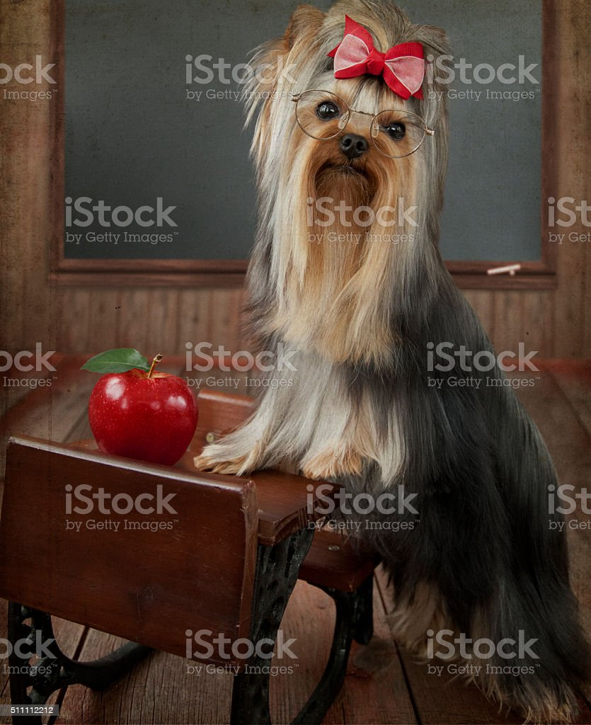 Yorkshire Terrier Teacher Student at Desk in front of Chalkboard stock photo