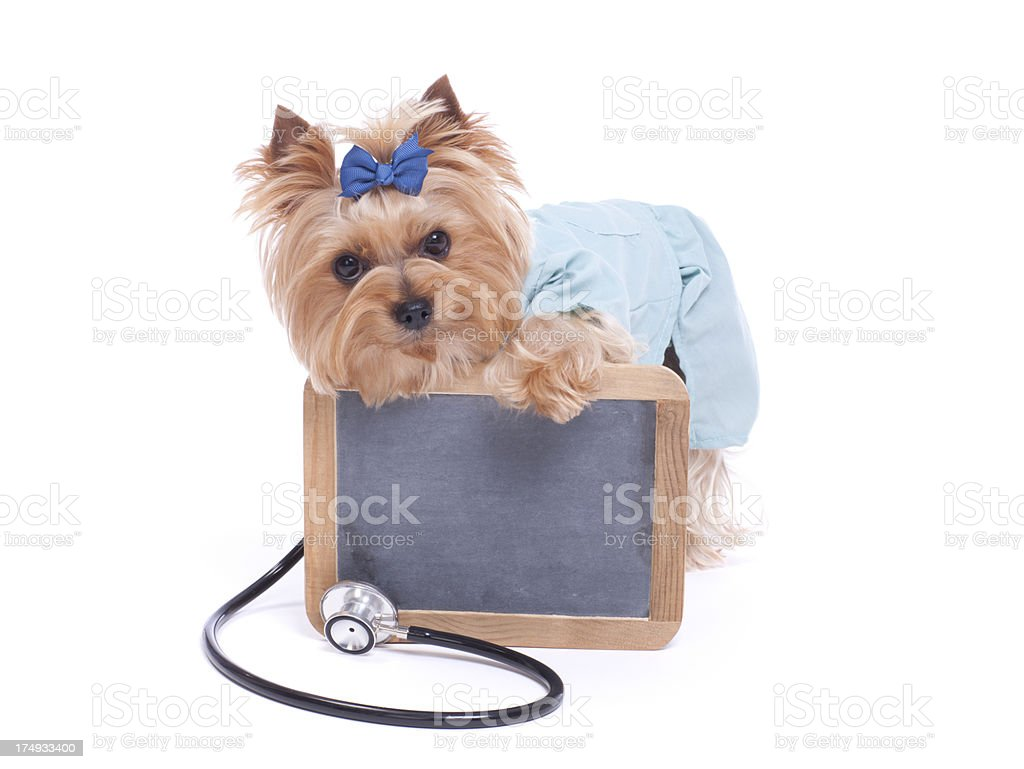 Yorkshire Terrier Veterinarian holding a Chalk Board royalty-free stock photo