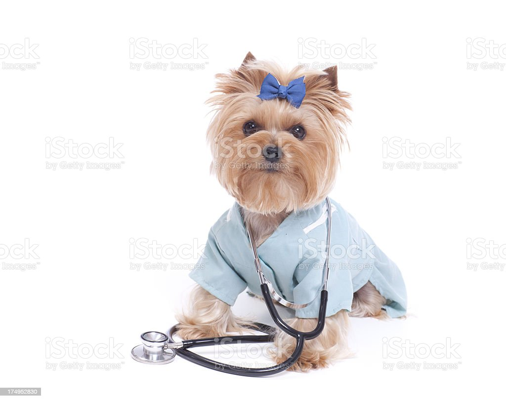 Yorkshire Terrier Veterinarian royalty-free stock photo