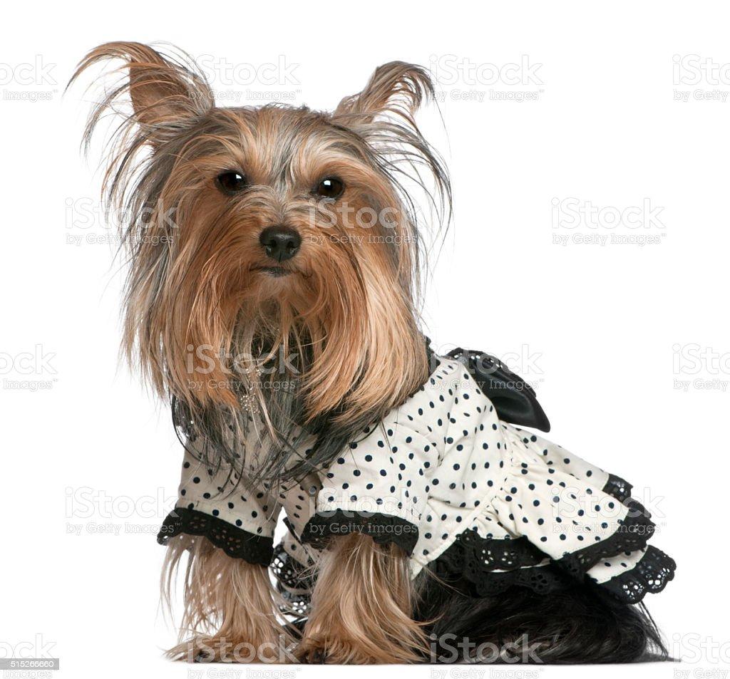 Yorkshire Terrier wearing black and white polka dot dress sitting stock photo