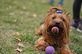 Yorkshire terrier with ball