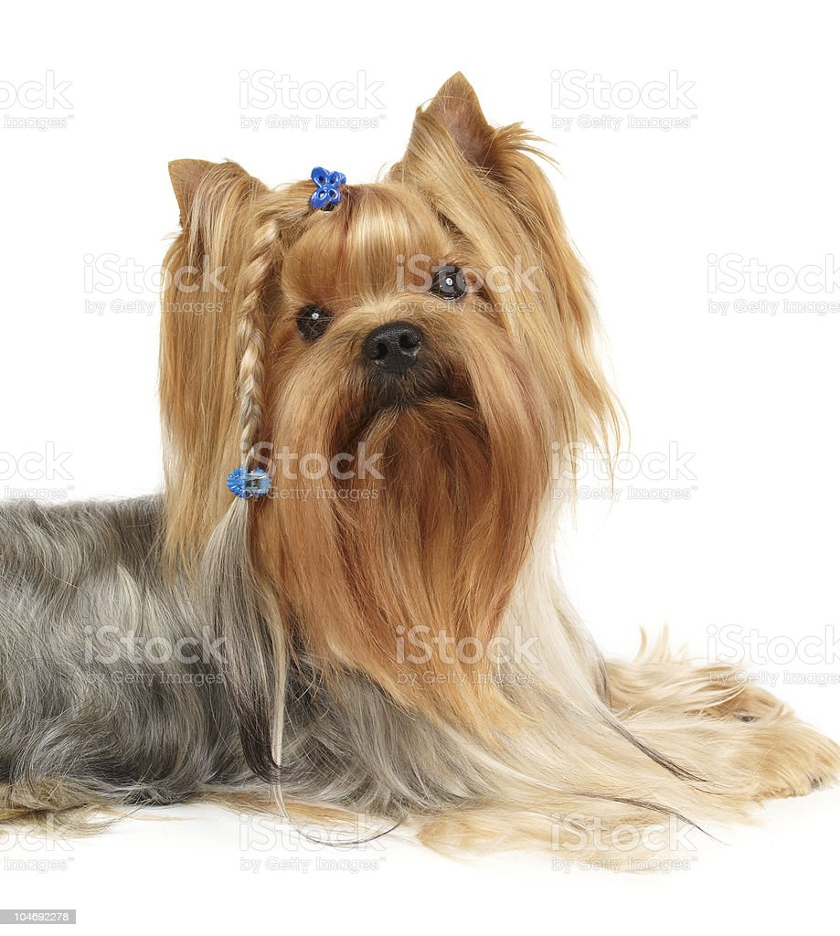Yorkshire Terrier with braid royalty-free stock photo