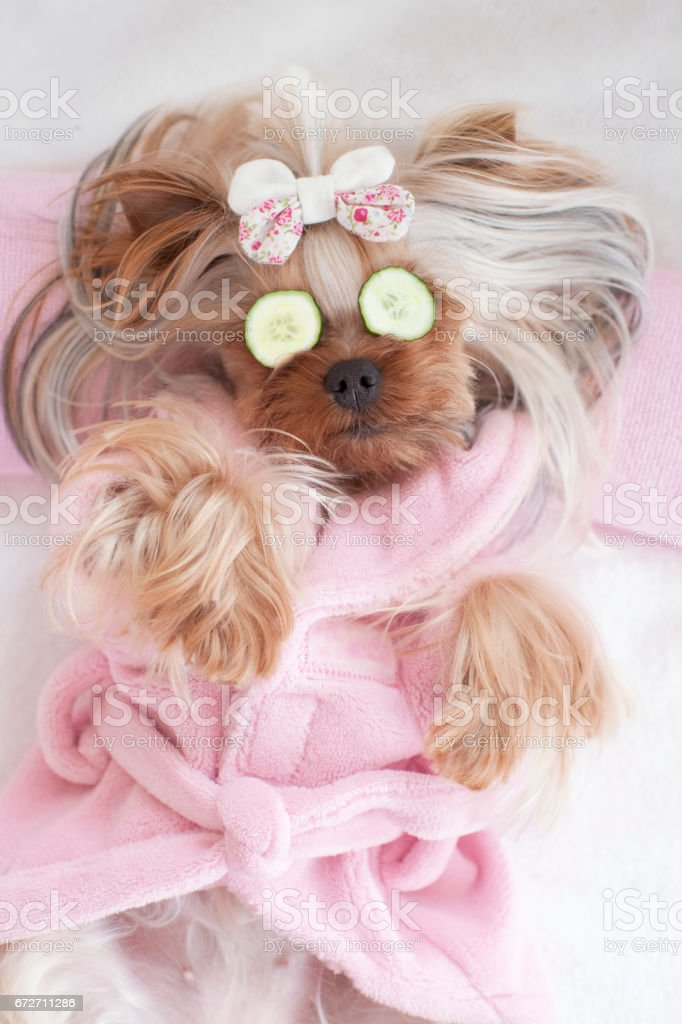 Yorkshire Terrier With Cucumbers on her Eyes at the Pet Grooming Salon
