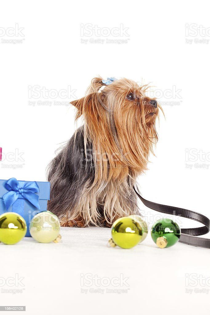 yorkshire terrier with gift boxes royalty-free stock photo